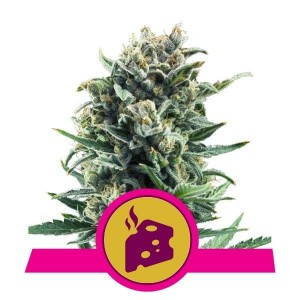 Blue Cheese - ROYAL QUEEN SEEDS