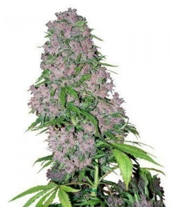 Purple Bud - WHITE LABEL