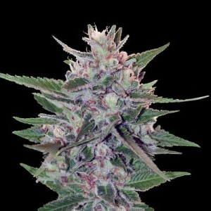 Hashplant S1 - ACE SEEDS