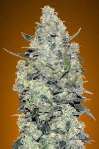 Auto Critical Mass - ADVANCED SEEDS