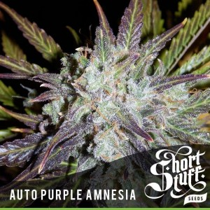 Auto Purple Amnesia - SHORT STUFF SEEDBANK