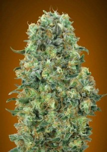 Critical Mass - ADVANCED SEEDS