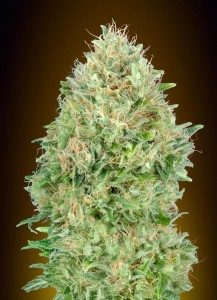 Pineapple Glue - ADVANCED SEEDS