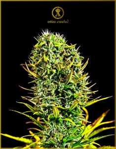 Amnesia Haze - ANACONDA SEEDS