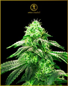 Hypnotic - ANACONDA SEEDS