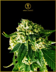 Russian Gold - ANACONDA SEEDS