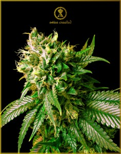 Strong Skunk - ANACONDA SEEDS