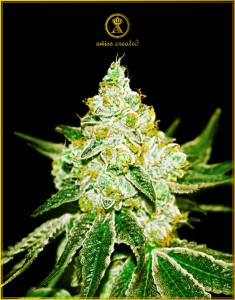 Northern Sky Auto - ANACONDA SEEDS
