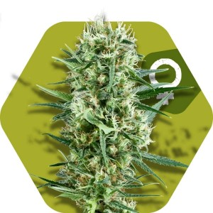 Crazy Cookies - ZAMBEZA SEEDS