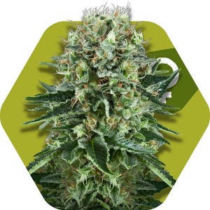 OG Bubble Gum - ZAMBEZA SEEDS