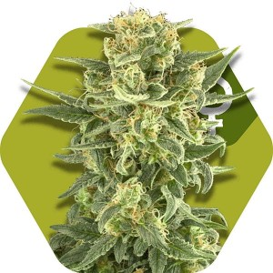 White Cheese Fast Flowering - ZAMBEZA SEEDS