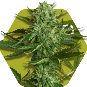 White Widow Haze - ZAMBEZA SEEDS