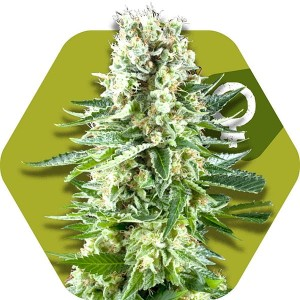 White Widow XL - ZAMBEZA SEEDS