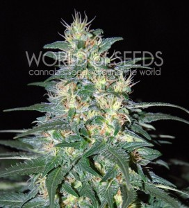 South African Kwazulu - WORLD OF SEEDS