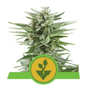 Easy Bud Auto 1+1 - ROYAL QUEEN SEEDS