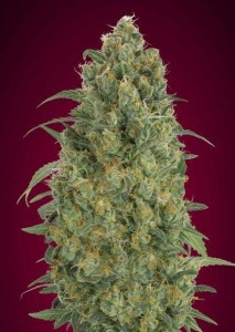 Auto Strawberry Gum - ADVANCED SEEDS