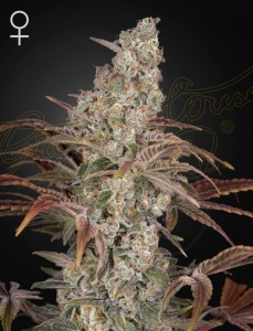 Jack's Dream - GREEN HOUSE SEEDS