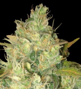 Black Russian - DELICIOUS SEEDS