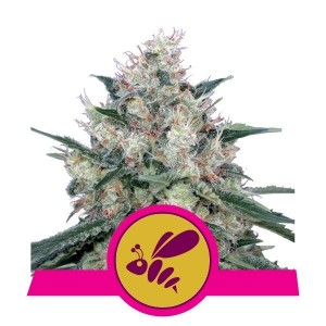 Honey Cream (Fast Version) 1+1 - ROYAL QUEEN SEEDS