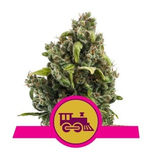 Candy Kush Express (Fast Version) 1+1 - ROYAL QUEEN SEEDS
