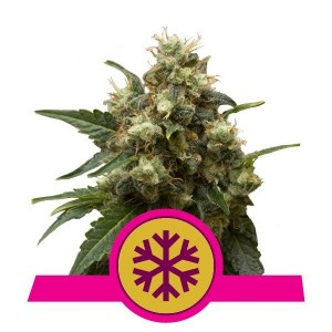 ICE 1+1 - ROYAL QUEEN SEEDS