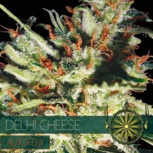 Delhi Cheese Auto - Vision Seeds