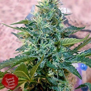 Sativa des Rois - FRENCH TOUCH SEEDS