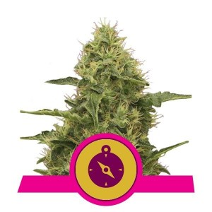 Northern Light 1+1 - ROYAL QUEEN SEEDS