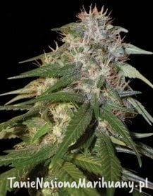 Sour Cream - DNA GENETICS