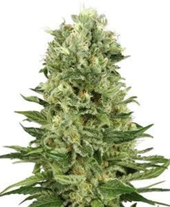 Skunk Automatic - Biological Seeds