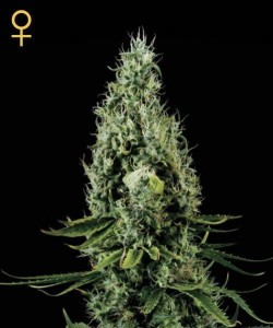 Arjan's Haze #3 - GREEN HOUSE SEEDS