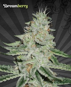 Dreamberry - AUTO SEEDS
