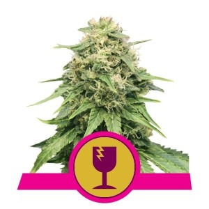 Critical 1+1 - ROYAL QUEEN SEEDS