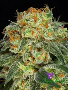 California Kush - ANESIA SEEDS
