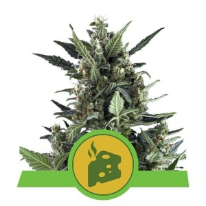 Blue Cheese Auto 1+1 - ROYAL QUEEN SEEDS