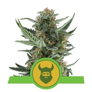 Royal Dwarf Auto 1+1 - ROYAL QUEEN SEEDS