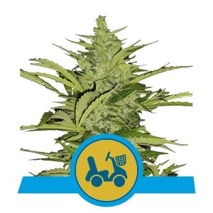 Fast Eddy Automatic CBD 1+1 - ROYAL QUEEN SEEDS
