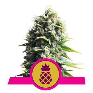 Pineapple Kush 1+1 - ROYAL QUEEN SEEDS