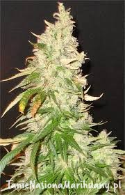 Northern Soul - SEEDSMAN