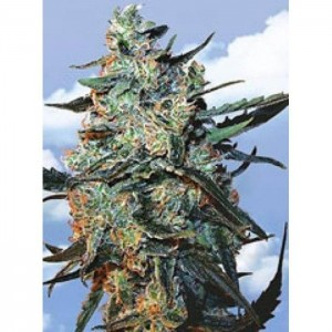 Feminized Mix - FLYING DUTCHMEN