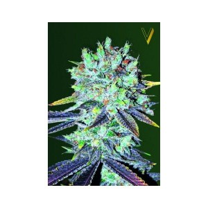 Original Blueberry - Victory Seeds