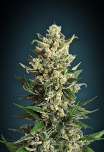 Ice Kush - ADVANCED SEEDS