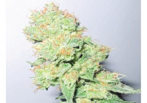 Y Griega CBD - MEDICAL SEEDS