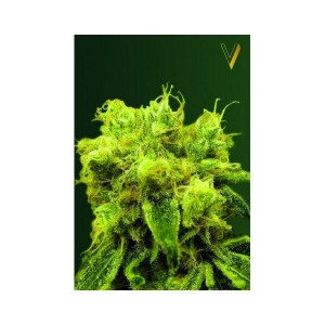 Blue Dream - Victory Seeds