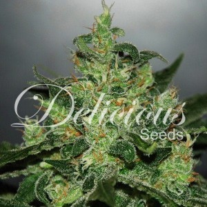Critical Jack Herer Auto - DELICIOUS SEEDS