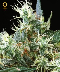 Auto Northern Light - GREEN HOUSE SEEDS