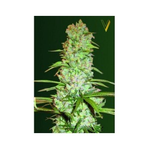 White Russian XXL - Victory Seeds