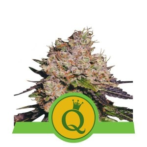 Purple Queen Automatic 1+1 - ROYAL QUEEN SEEDS