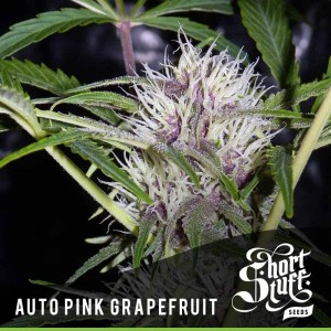 Auto Pink Grapefruit - SHORT STUFF SEEDBANK