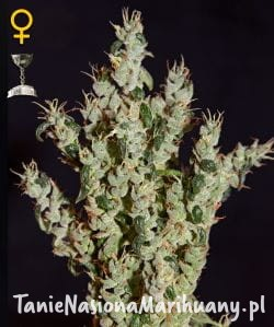 NL5 Haze Mist - GREEN HOUSE SEEDS